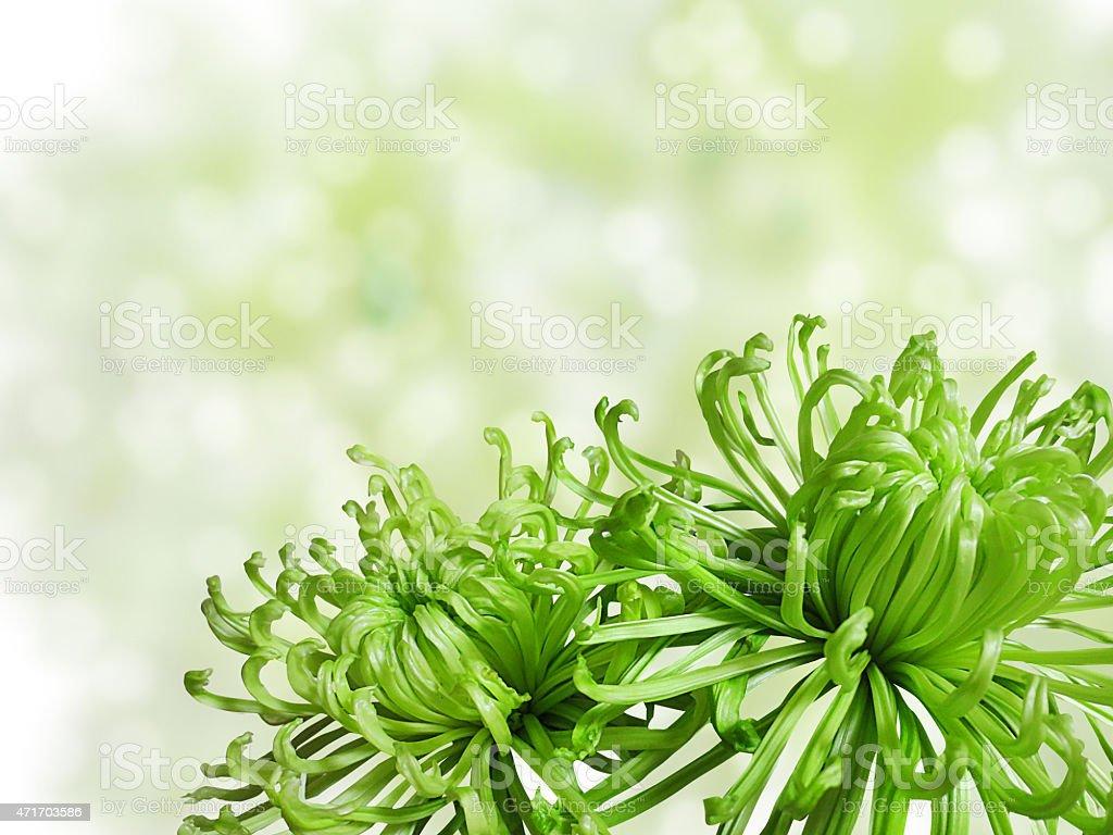 Green chrysanthemum stock photo