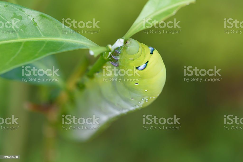 green chubby worm stock photo