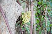 Green circle of fruit