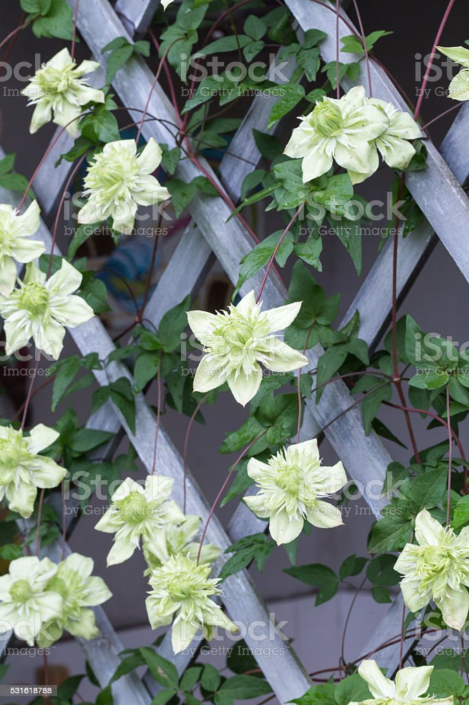 green clematis blooming in summer stock photo