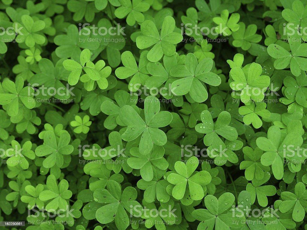 Green clover field stock photo