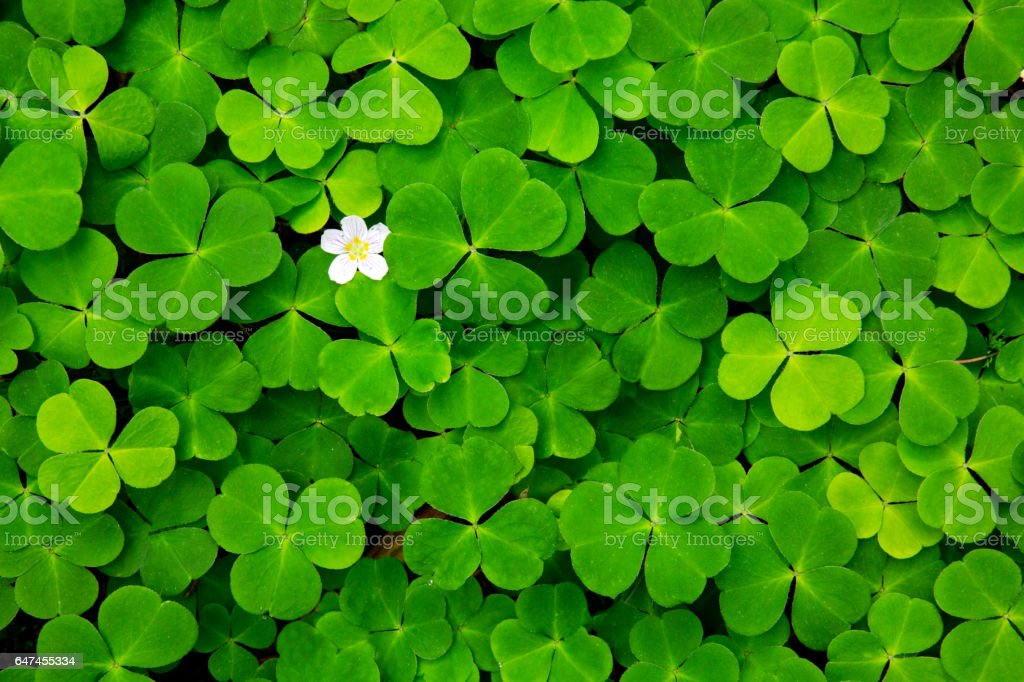 Green clover leaves background stock photo