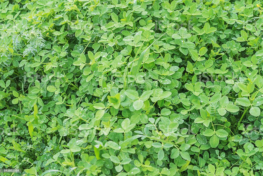 green clover leaves with dew background stock photo
