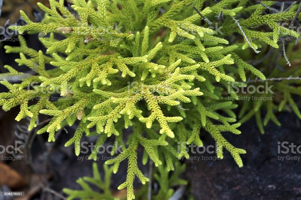 Green Club-mos (Lycopodium clavatum L.) stock photo