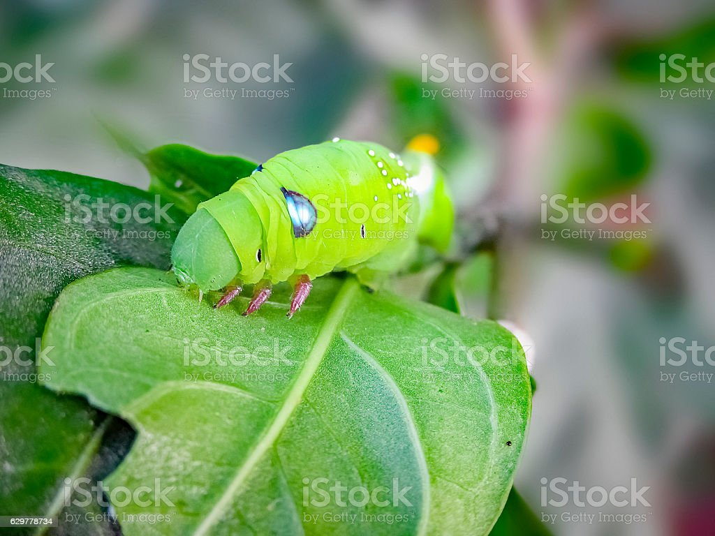 Green cobra Caterpillar in Macro. stock photo