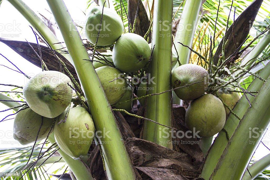 green coconut at tree royalty-free stock photo