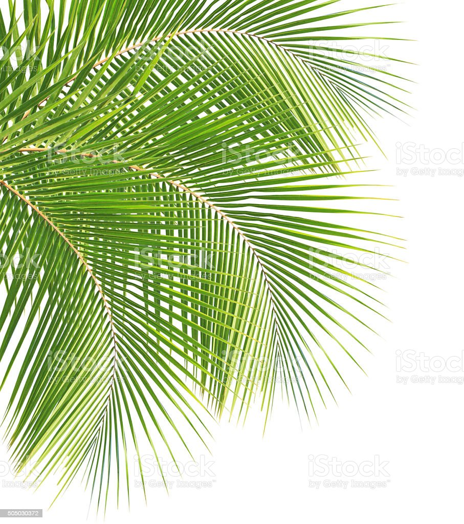 Green coconut leaves stock photo