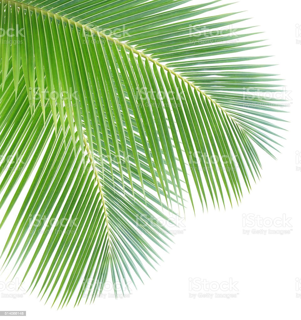 Green Coconut Leaves stock photo 514066148 | iStock