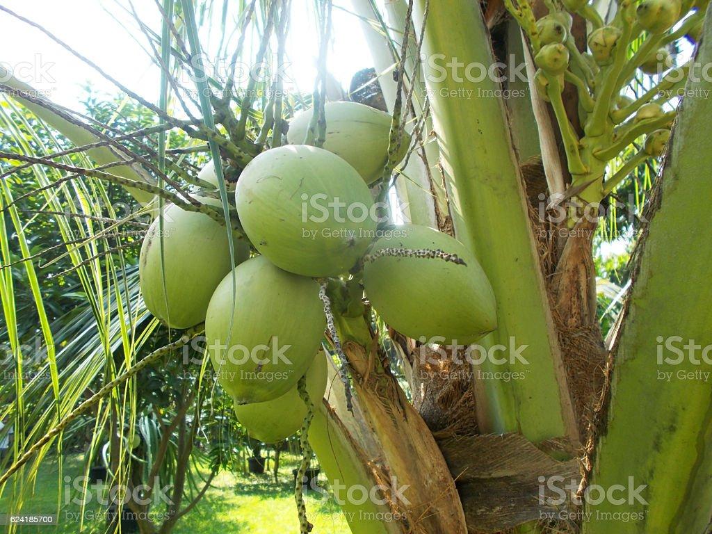 green coconut tree stock photo