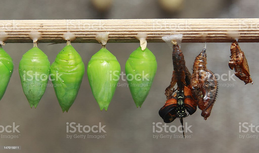 Green cocoons royalty-free stock photo