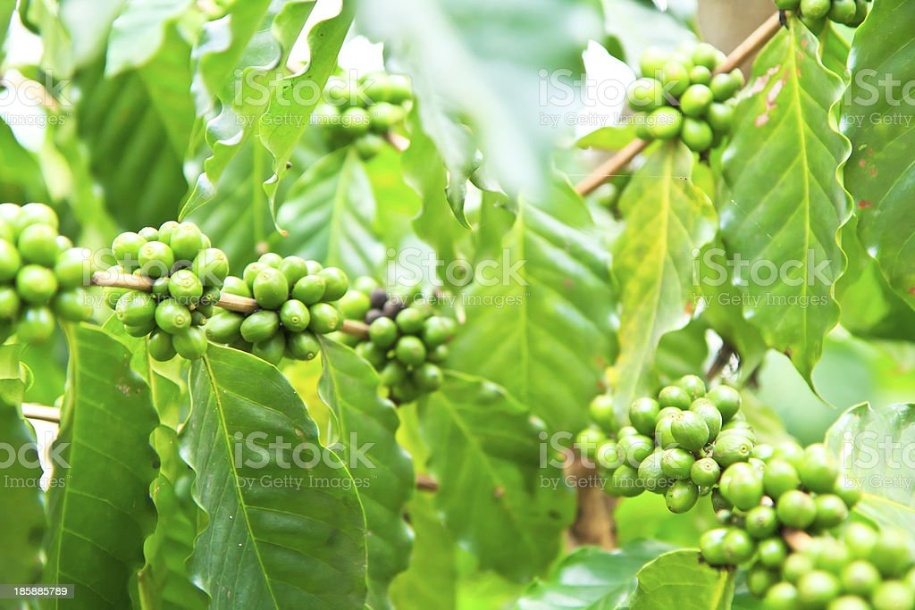 Green coffee beans growing on the branch royalty-free stock photo