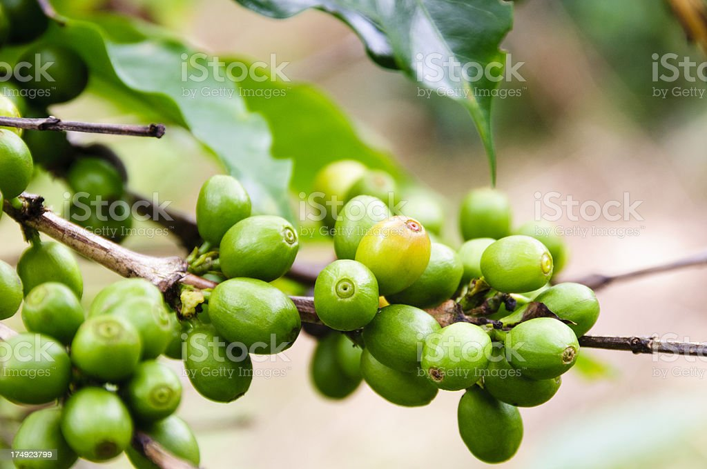 Green coffee beans on a branch stock photo