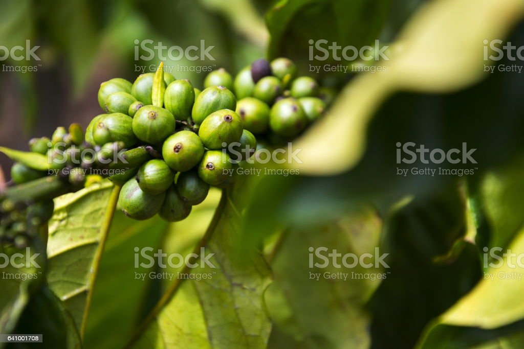 Green coffee beans, seed of berries from Coffea plant Vietnam stock photo