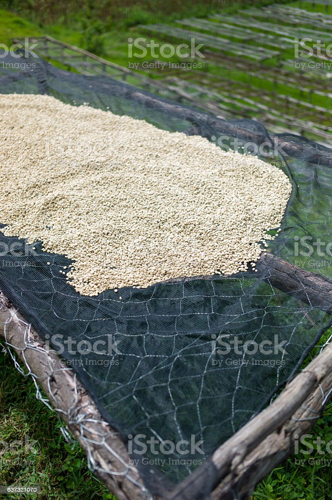 Green coffee being dried in Africa. stock photo