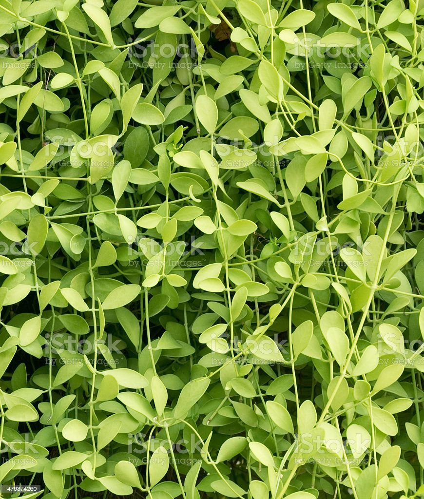 Green Color of Vertical Creeper Plant Background stock photo