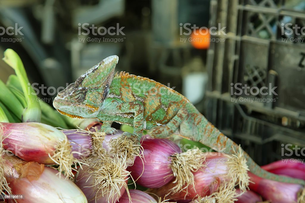 Green colored chameleon stock photo