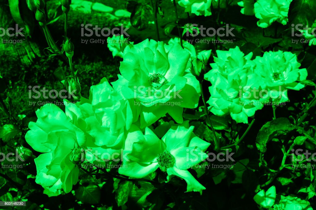 Green colored roses stock photo