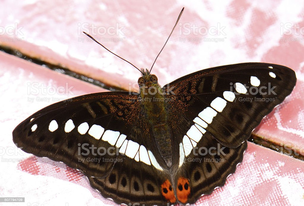 Green Commodore butterfly (Limenitis daraxa) stock photo