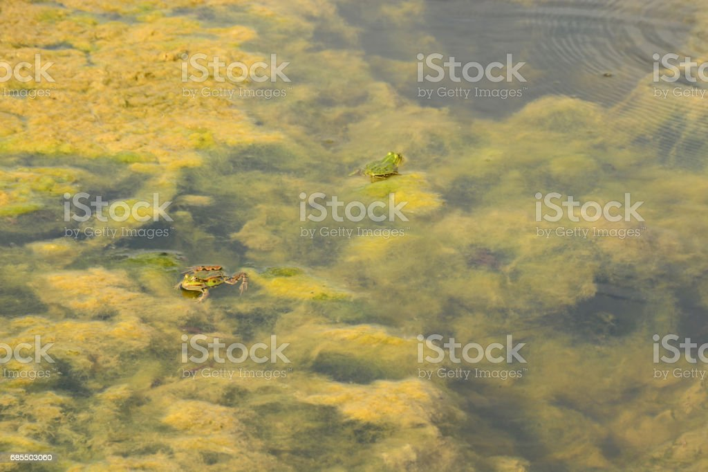 Green common frogs together in a pond full with Algae. stock photo
