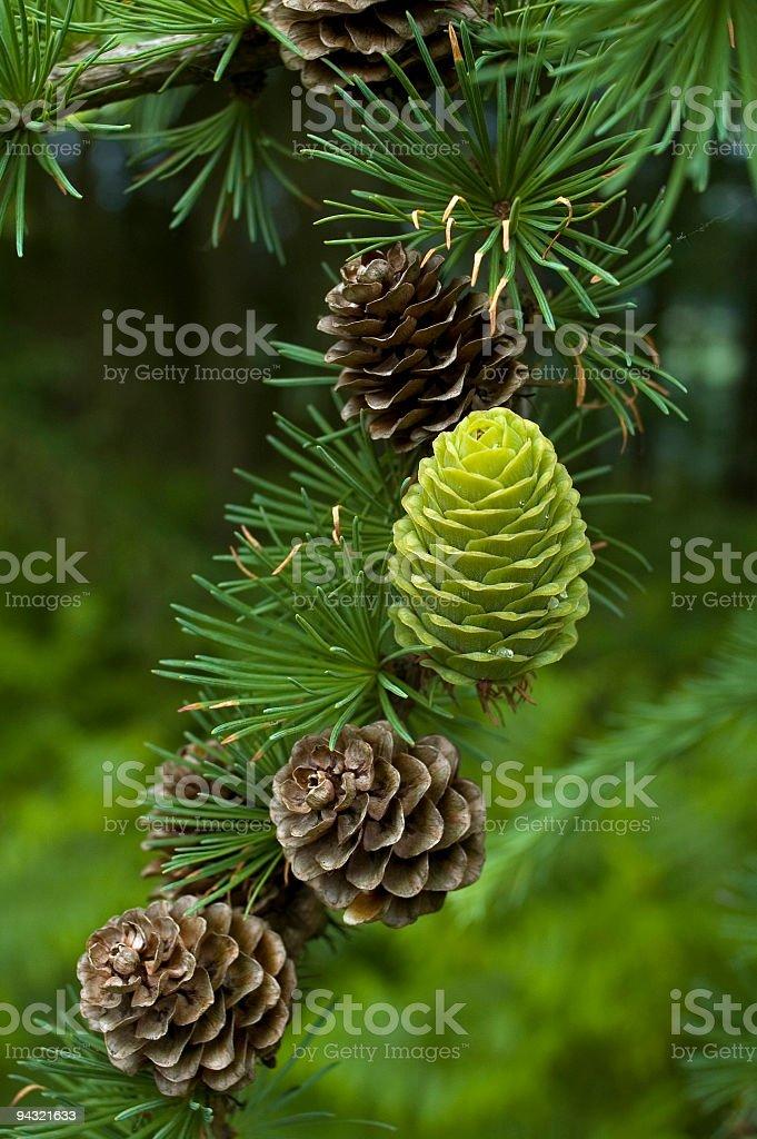 Green cone stock photo