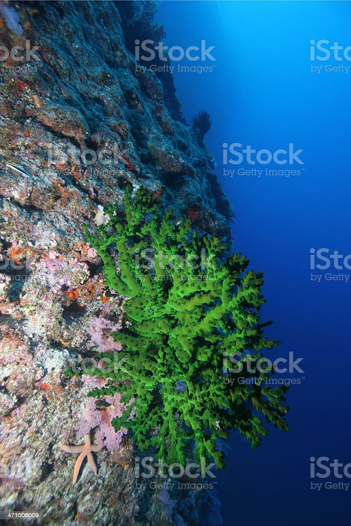 Green Coral on the Reef Wall royalty-free stock photo