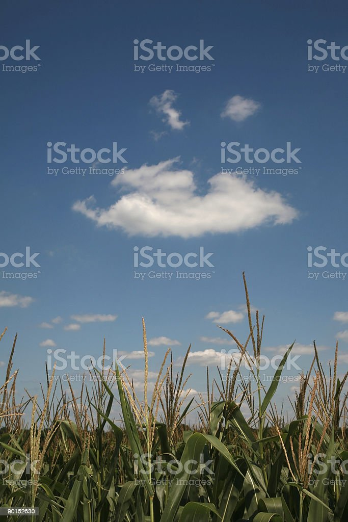 Green corn during summer royalty-free stock photo