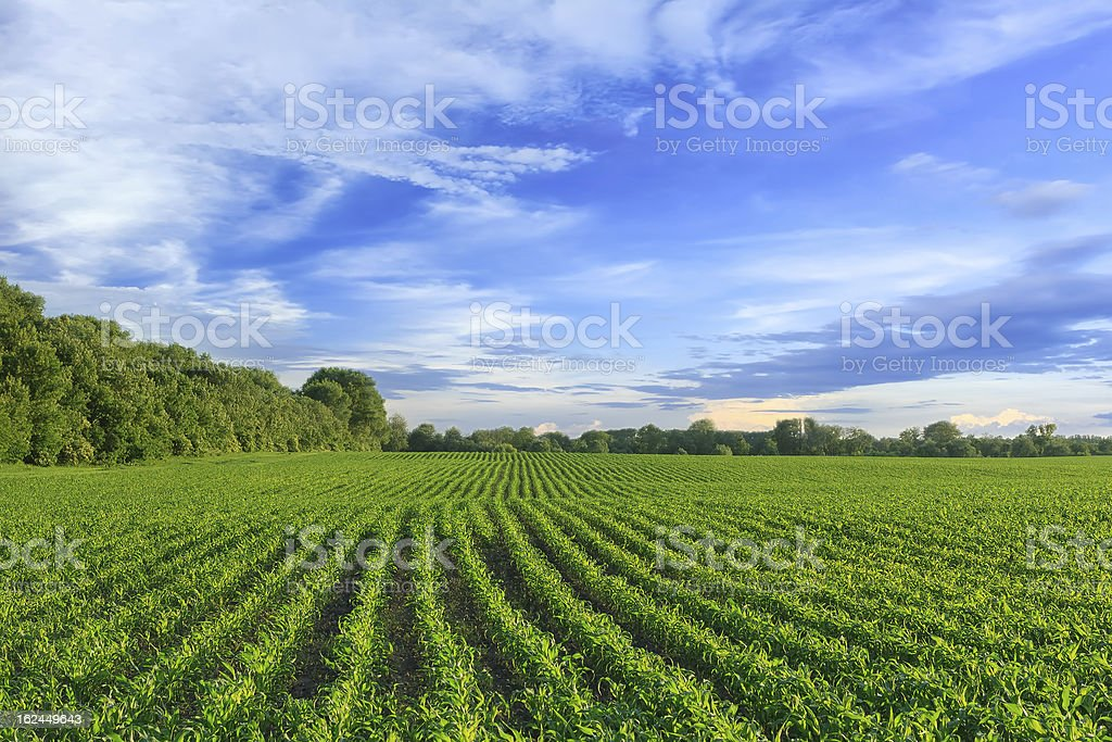 Green corn field against blue sky stock photo
