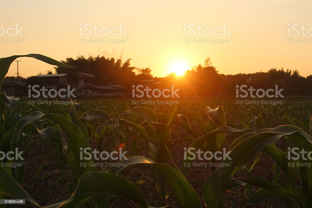 Green corn field at sunset. stock photo