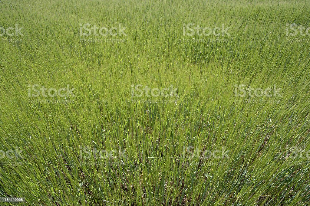 Green corn field background stock photo