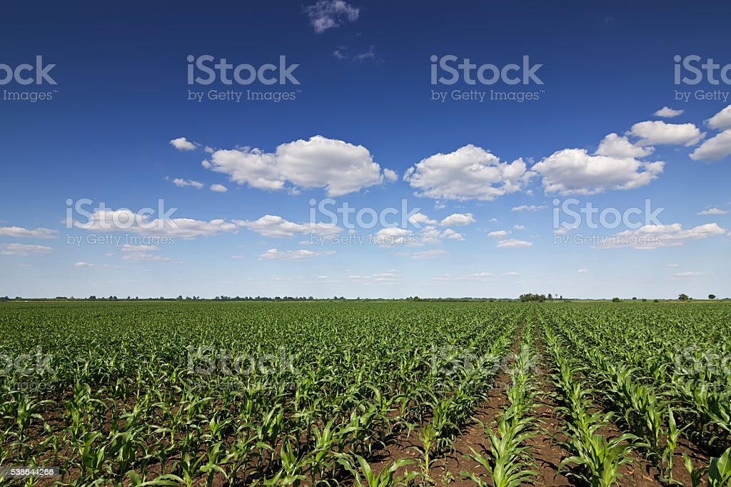 Green corn field, blue sky and sun on summer day. stock photo