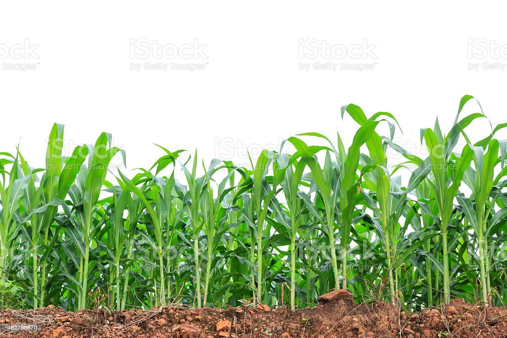 Green corn field on white background stock photo