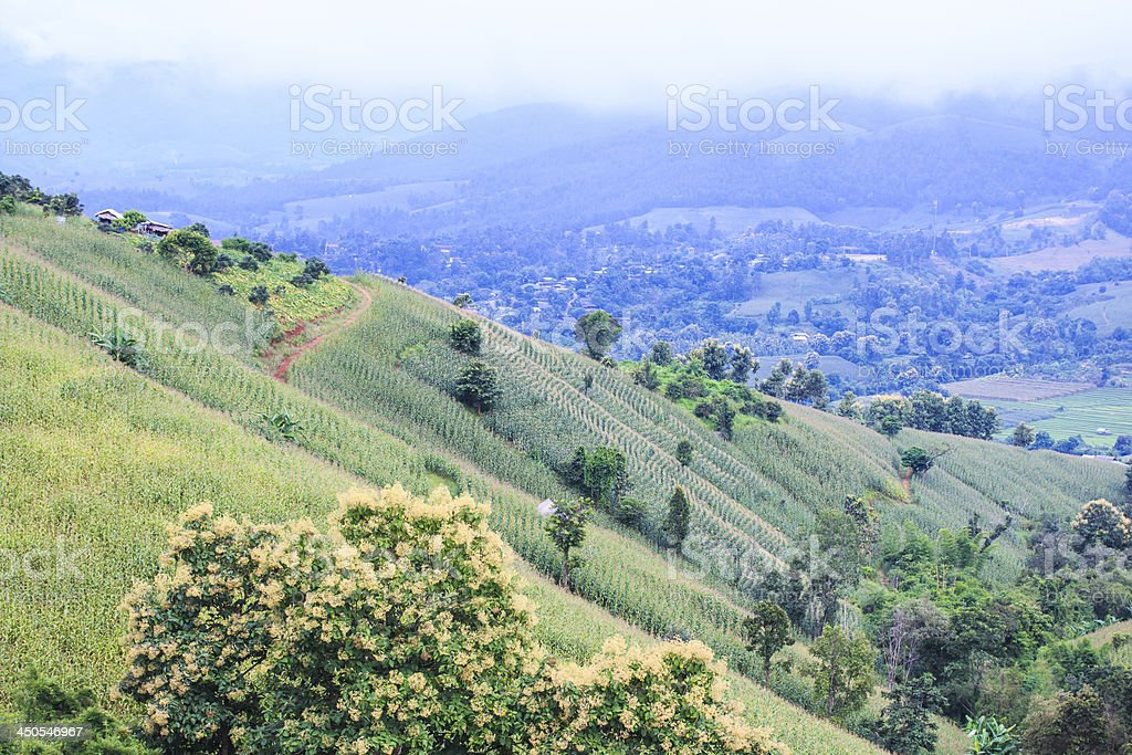 Green corn field royalty-free stock photo