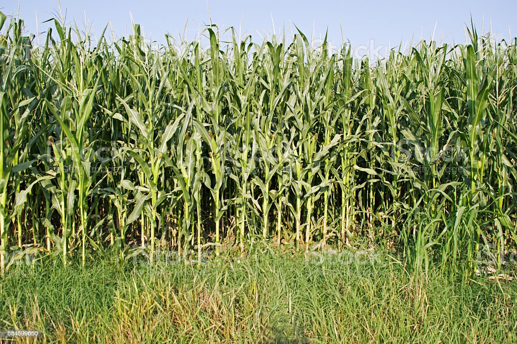 Green Corn Field stock photo