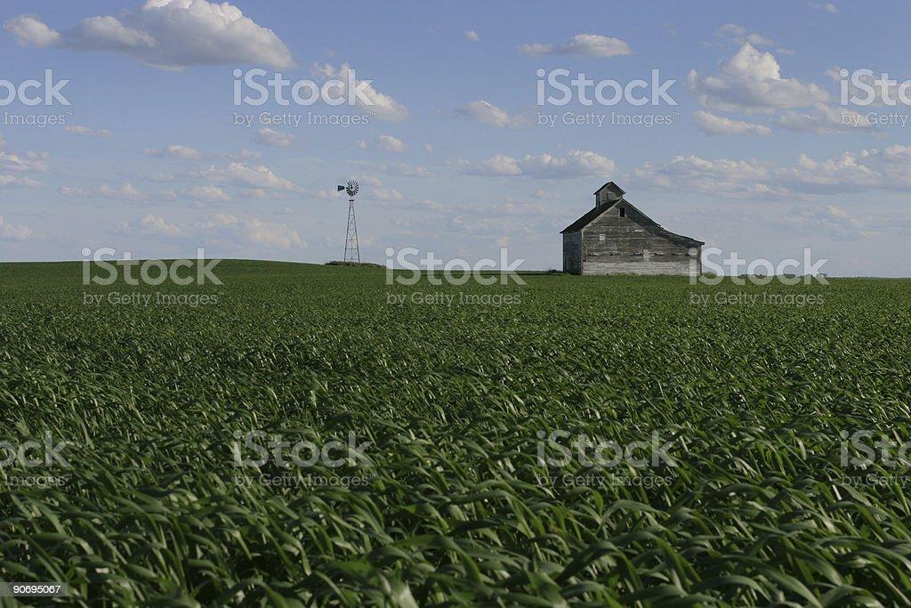 Green Corn Field stock photo