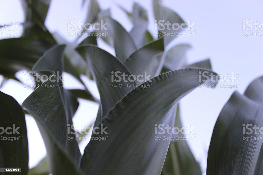 Green corn plant royalty-free stock photo