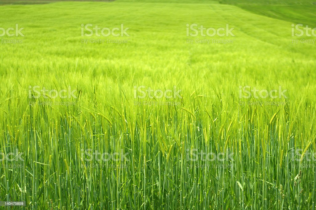 green cornfield royalty-free stock photo