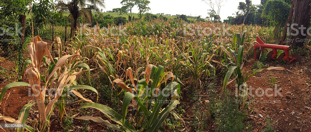green cornfield ready for harvest - Brazil stock photo