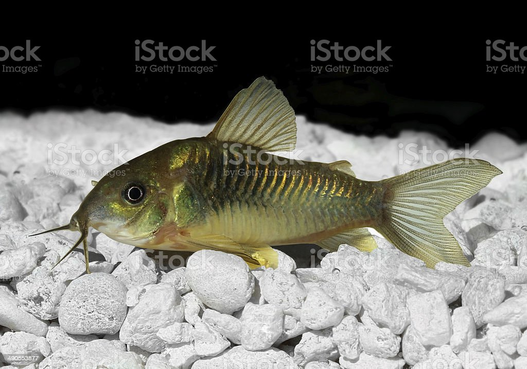Green Cory Corydora catfish stock photo