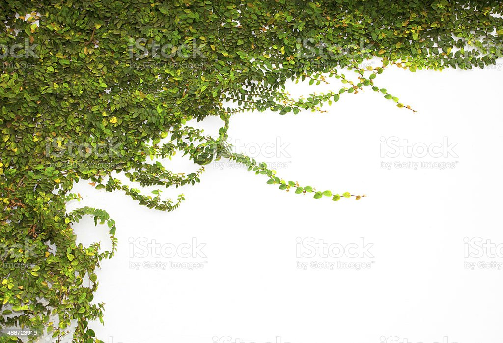 Green Creepe stock photo