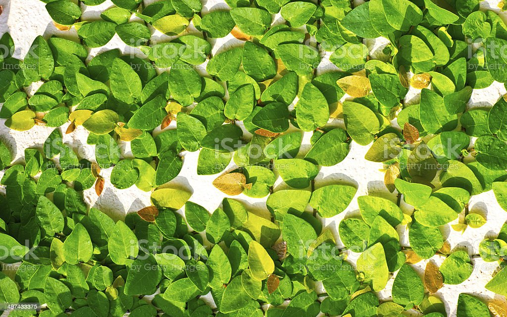 Green creeper royalty-free stock photo