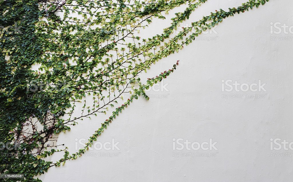 Green Creeper Plant on a White Wall royalty-free stock photo