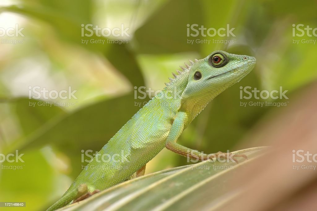 Green Crested Lizard (Bronchocela cristatell) in Singapore stock photo