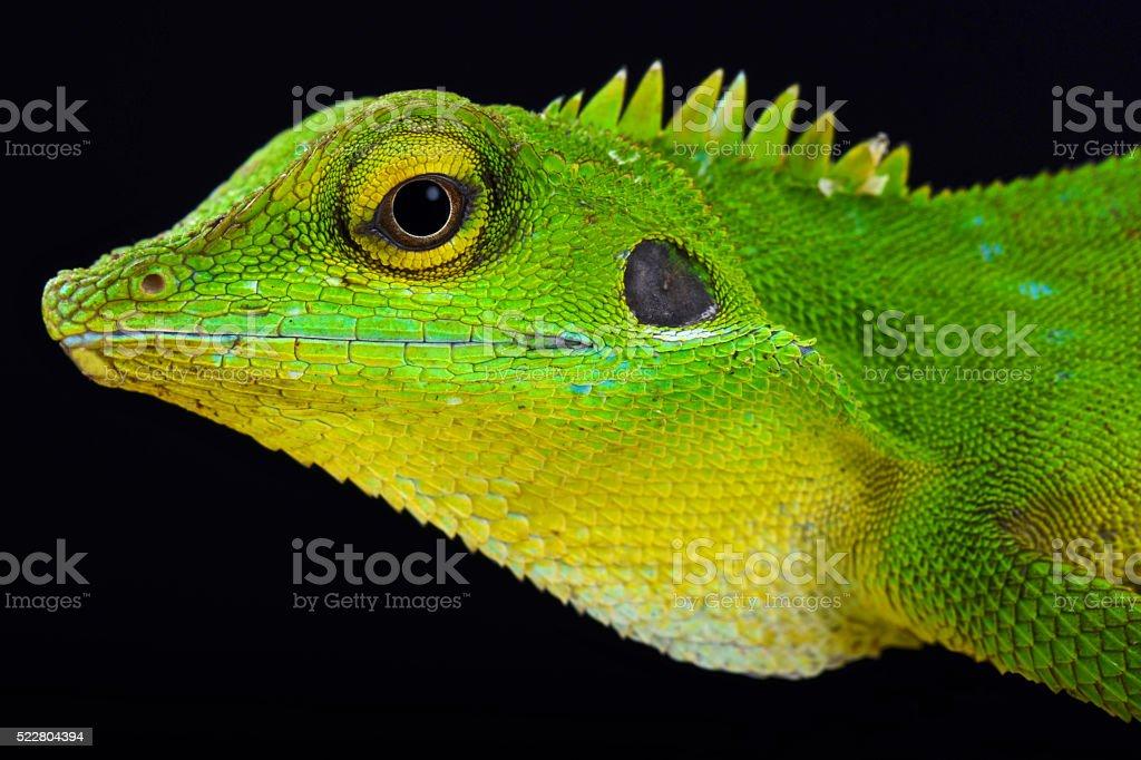 Green crested lizard (Bronchocela cristatella) stock photo