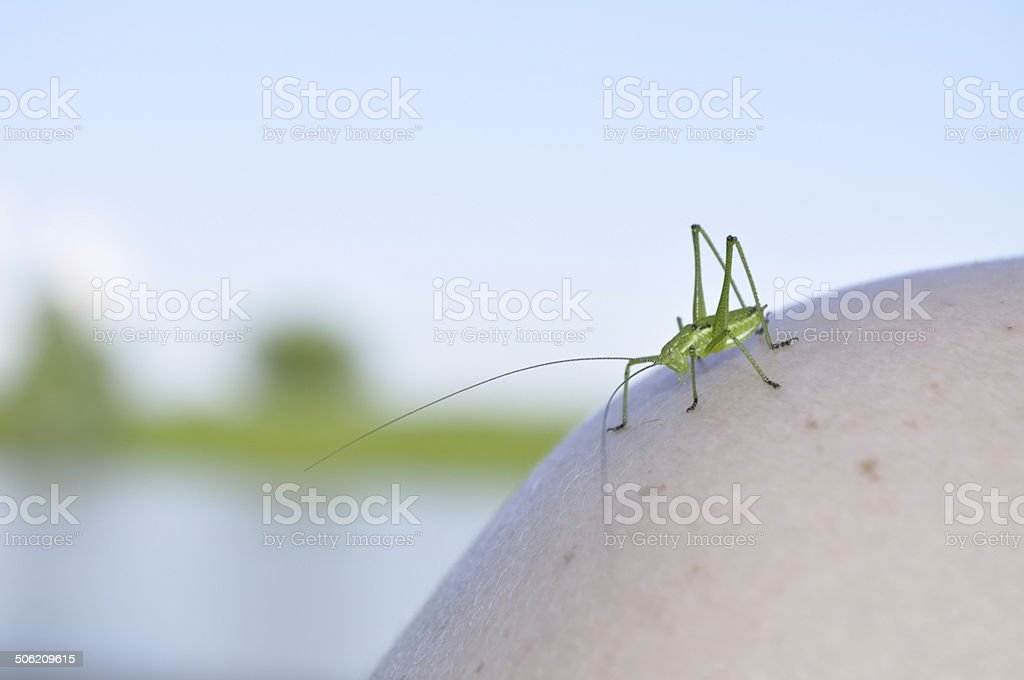 green cricket on a man's shoulder stock photo