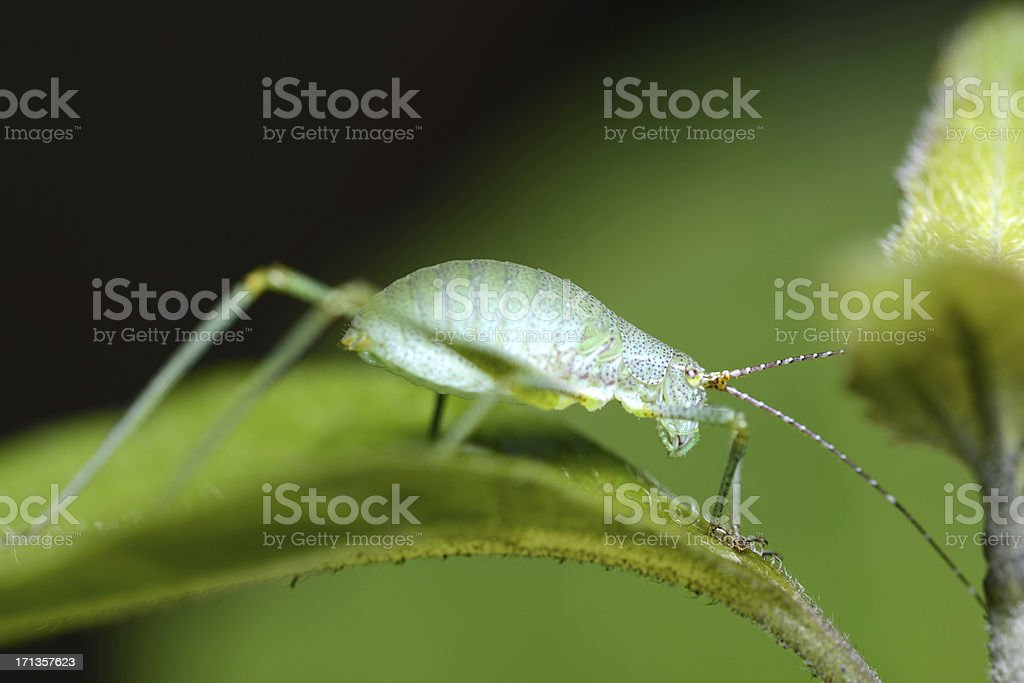 Green Cricket on leaf royalty-free stock photo