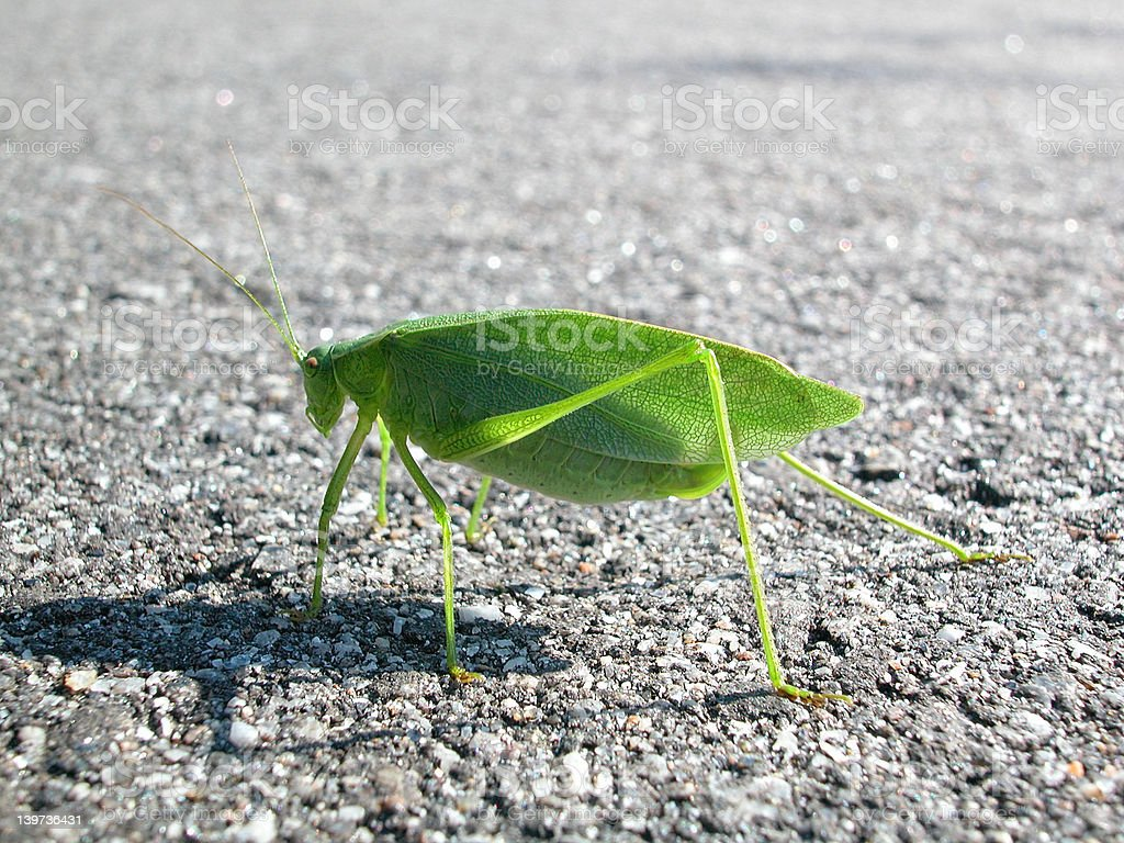 Green cricket royalty-free stock photo