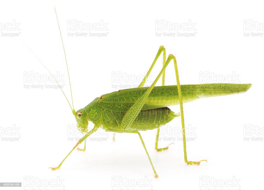 Green cricket. stock photo