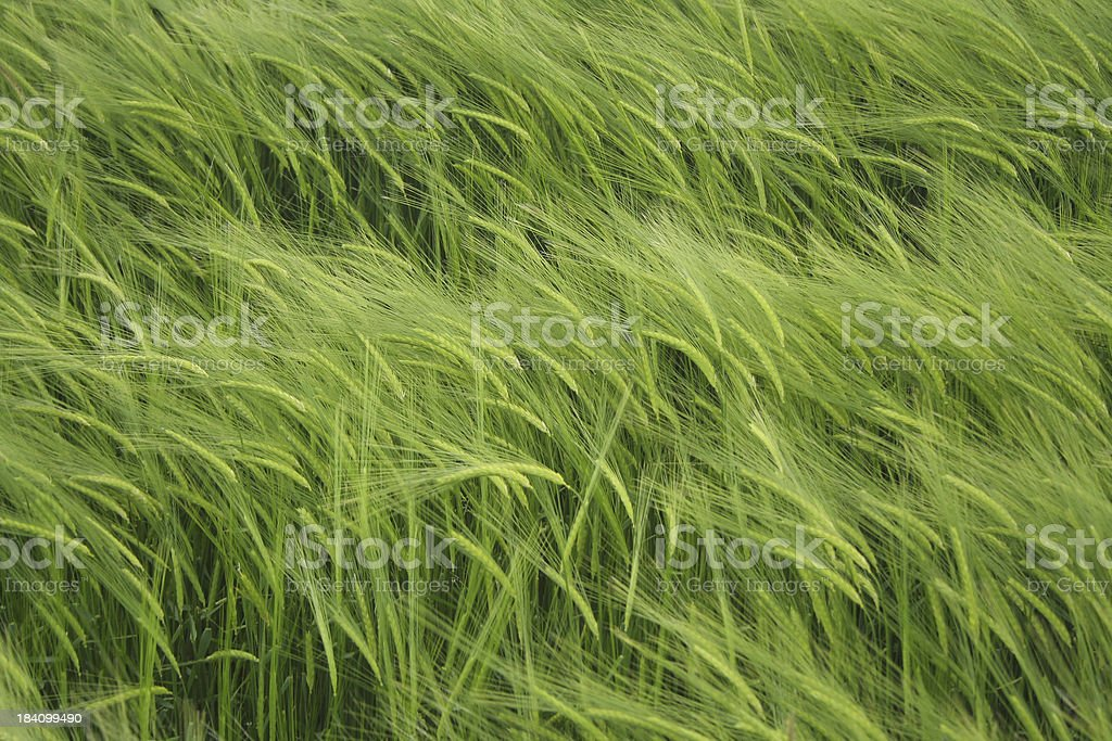 Green Crop Background royalty-free stock photo