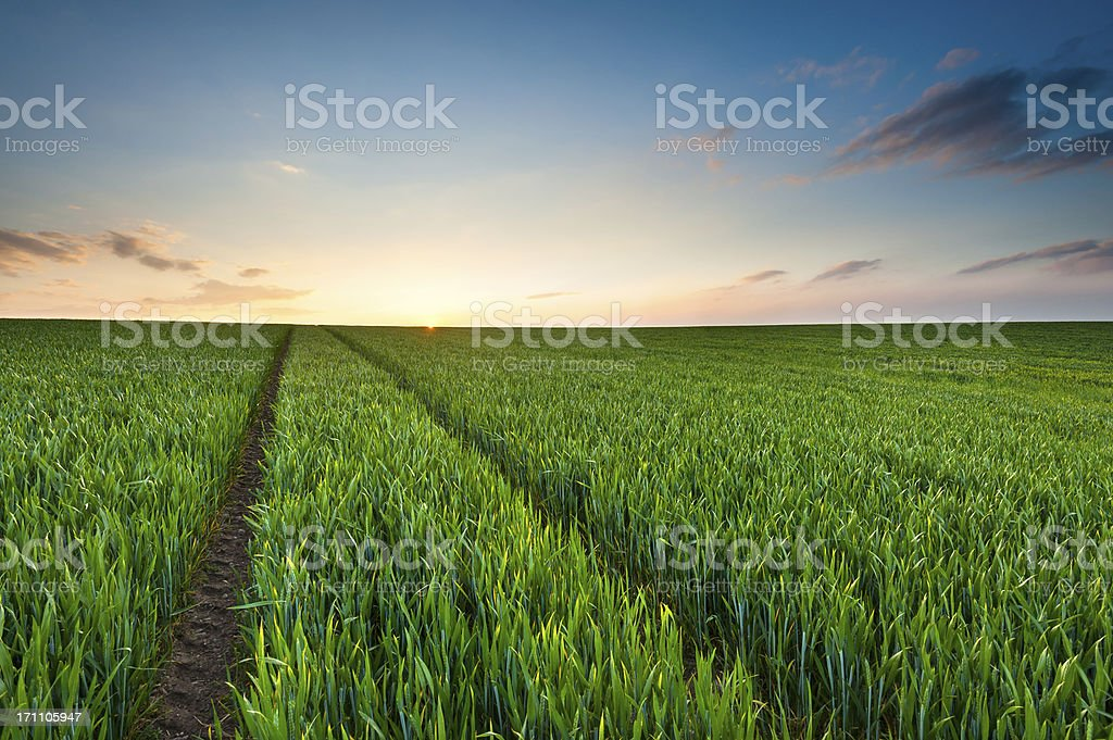 Green Crop Field Sunset royalty-free stock photo