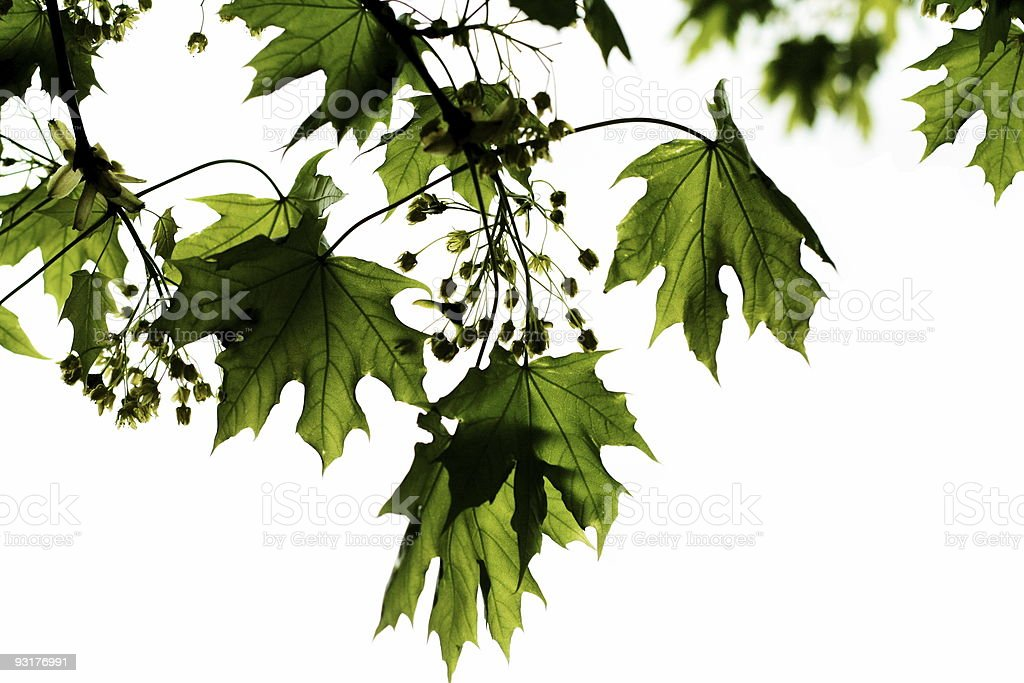 Green crown of a maple tree royalty-free stock photo